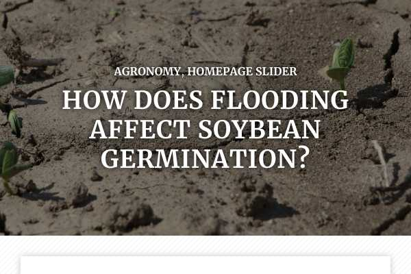 How does flooding affect soybean germination?